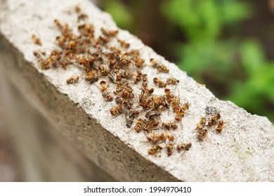Bactrocera  dorsalis dead insects. Insect pests of mango orchards, organic farming, pest, fruit fly, mixed agricultural garden, Drosophila melanogaster removal, Prevention and control of insects