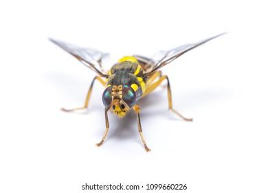 Bactrocera dorsalis fruit fly isolated on white background