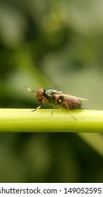Bactrocera dorsalis Hendel or Oriental fruit fly