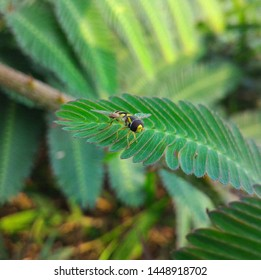 Bactrocera dorsalis (Oriental fruit fly) on mimosa leaves