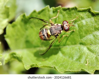 Bactrocera dorsalis, previously known as Dacus dorsalis and commonly referred to as the oriental fruit fly