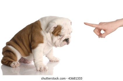 bad dog - persons hand wagging finger at nine week old english bulldog puppy