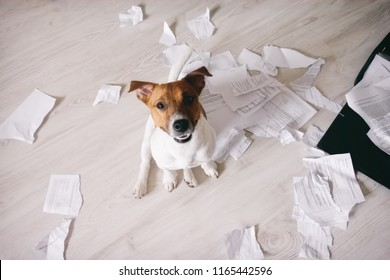 Bad dog shred important documents. Naughty pets at home. Bad puppy looking up on his owner and waiting for punishment
