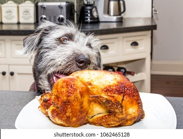 Bad dog stealing roasted chicken off a plate on a kitchen counter