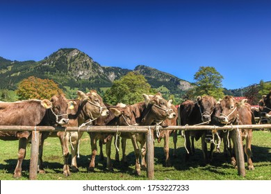 BAD HINDELANG, BAVARIA, GERMANY - SEPTEMBER 10 2011: Adorned cattle at the traditional annual Almabtrieb, Viehscheid in Allgaeu, Bavarian Alps. Crowd of tourist people watching the event.