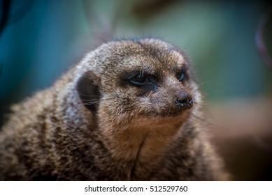 Bad Meerkat
