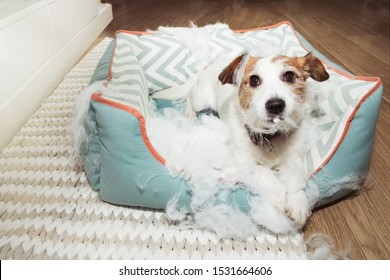 bad naughty dog destroyed its pet bed with innocent face expression. mischief and disobey concept