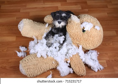 Bad naughty schnauzer dog destroyed plush toy at home