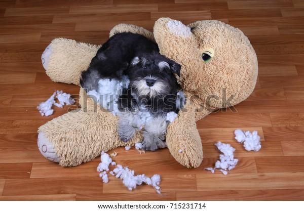 Bad naughty schnauzer dog destroyed plush toy at home