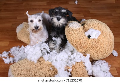 Bad naughty schnauzer dogs destroyed plush toy at home