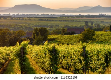 The Badacsony mountain with Lake Balaton and a vineyard in the foreground at sunset in Hungary