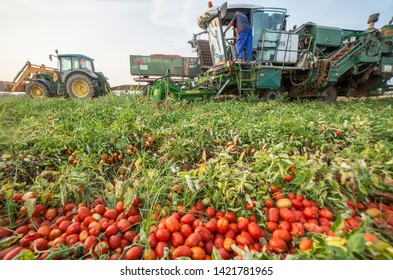Badajoz, Spain - August 23th, 2018: Self-propelled tomato harvester work in parallel with tractor trailer. At the forefront loads of tomatoes out of focus