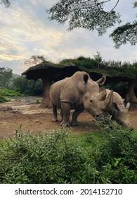 Badak Jawa (Rhinoceros sondaicus), also known as the Sunda rhinoceros or lesser one-horned rhinoceros from Indonesia.