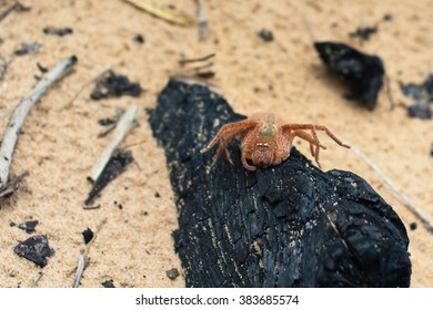 Badge Huntsman spider sitting on a burnt log, Marion Bay, Tasmania, Australia