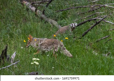 A badger and a coyote walk near each other in a lush green meadow at Yellowstone National Park, Wyoming.