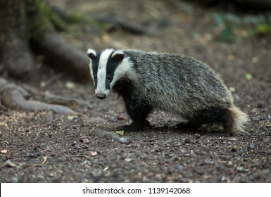 Badger cub, aged approximately 5 months.  Single, walking, native, European badger, (Meles Meles) Facing to the left. Walking.  Horizontal.