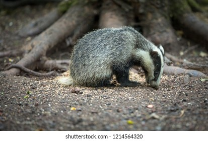 Badger cub sat in natural woodland habitat, facing right and foraging for peanuts.  Scientific name: Meles meles.  Horizontal. Daylight