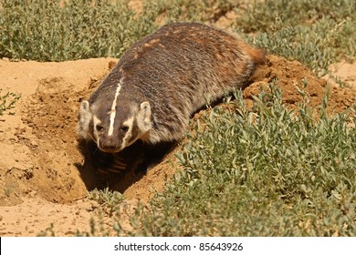 A Badger digging out its den in Colorado.