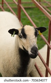 Badger Face Torddu Welsh mountain sheep an ancient breed with it's distinctive black belly and striped facial markings originating in Wales as far back as the 7th century