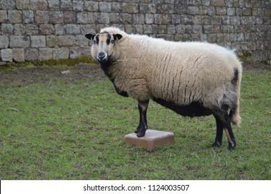 Badger face Welsh Mountain Sheep Ewe Torddu