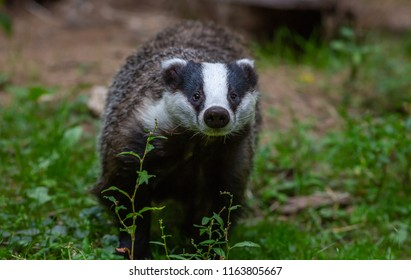 Badger in field