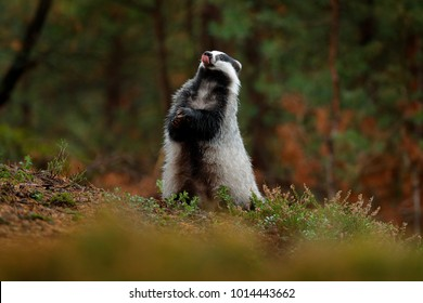 Badger in forest, animal in nature habitat, Germany, Europe. Wild animal in the wood. European badger in autumn pine green forest. Mammal in environment, rainy day.