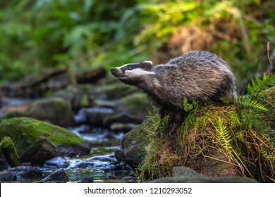 Badger in forest, animal in nature habitat, Germany, Europe. Wild Badger, Meles meles, animal in the wood. Mammal in environment, rainy day.