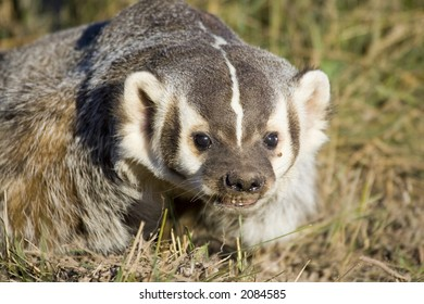 A badger in the grass