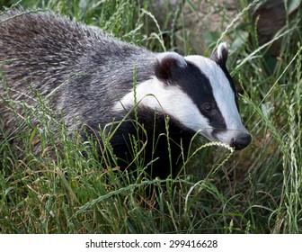 Badger in green grass