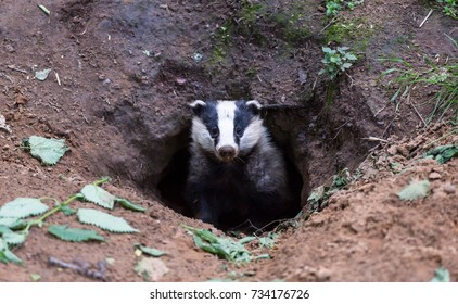 Badger, (meles meles) native, European wild badger emerging from the badger sett. England, UK.  Facing forward. Badgers are very controversial in the UK due to TB. Horizontal. Space for copy.