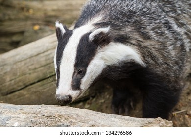 Badger (meles meles) out in the daytime