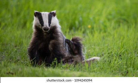 A Badger (Meles meles) scratching his side while sitting in the green grass