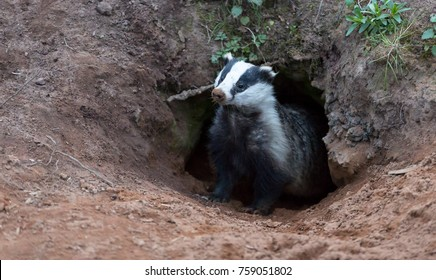 Badger (Meles meles) wild, native badger emerging from the badger sett with muddy nose and looking to the left.  Sparse green foliage around the sett.  Landscape.