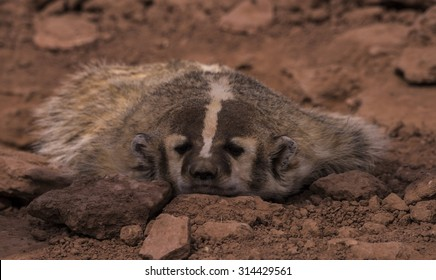Badger (Melinae taxideinae)