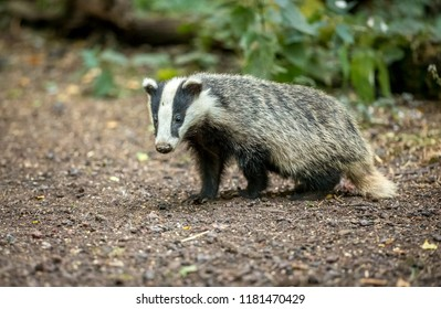 Badger, native, wild, European badger in natural woodland setting.  Scientific name: Meles meles. In 2018, the Government has issued licences to cull badgers in some areas of the UK.  Landscape