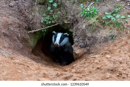 Badger, native, wild, European badger, Scientific name: Meles Meles, emerging from the badger sett in early evening and looking forward. With  sandy earth and green foliage.  Horizontal.  Landscape.