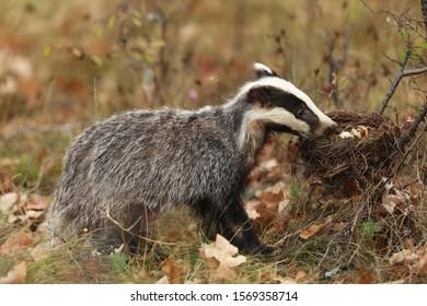 Badger near forest, animal nature habitat, Germany, Europe. Wildlife scene. Wild Badger, Meles meles, eat eggs from nest. European badger.