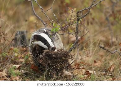 Badger near forest, animal nature habitat, Europe. Wildlife scene. Wild Badger, Meles meles, eat eggs from nest. European badger.