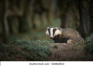 A badger on it's evening patrol photographed in native woodland
