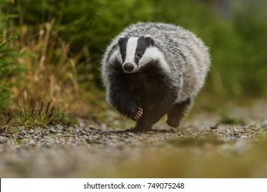 Badger running in forest, animal nature habitat, Germany, Europe, Wildlife Badger, Meles meles, animal in wood. European badger, autumn pine green forest. Mammal environment, rainy day.