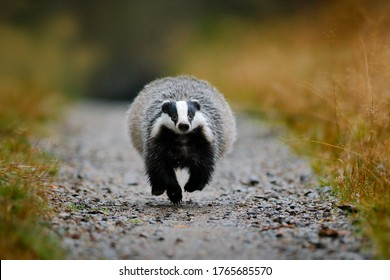 Badger running in the forest gravel road. Action wildlife scene from nature, Sumava, Czech Republic. Nature in Europe. Badger in the meadow habitat, funny image.