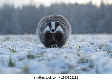 badger running in snow, winter scene with badger in snow,