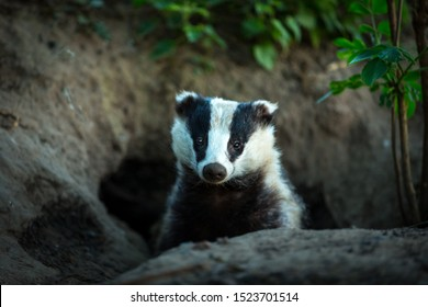 Badger (Scientific name: Meles meles) facing forward, leaving the badger sett at dusk. Badgers are controversial wild animals in the UK due to Bovine Tb in cattle. Landscape, horizontal. Copy space
