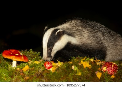 Badger (Scientific name: Meles meles). Wild badger foraging in natural woodland habitat with red Fly Agaric mushrooms and golden leaves.  Facing left.  Night time.  Black background.  Space for copy.