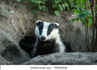 Badger (Scientific name: Meles meles) Wild, native, European badger in natural woodland habitat, peeping out of the badger sett.  Facing forward.  Horizontal.  Space for copy.