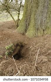 Badger sett in woods