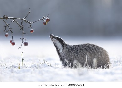 Badger in snow with apples