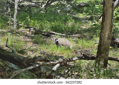 The badger in summer forest.
