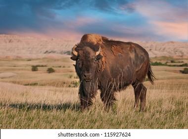 Badlands American Bison Bull (Bison bison)