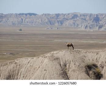 Badlands National Park, South Dakota.  U.S.A. Sept. 16, 2018. Big horn sheep.